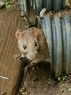 Rat Removal Northern IL